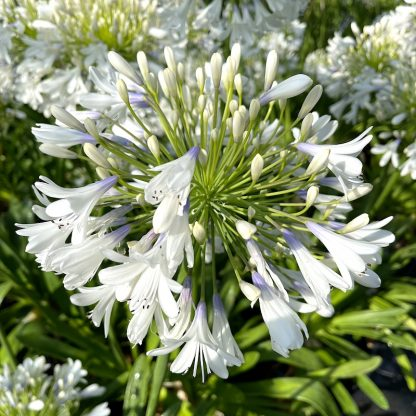Agapanthus 'Queen Mum' close up of flower at Big Plant Nursery