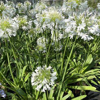 Agapanthus 'Queen Mum' flowers at Big Plant Nursery