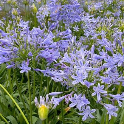 Agapanthus africanus 'Blue' flowering at Big Plant Nursery