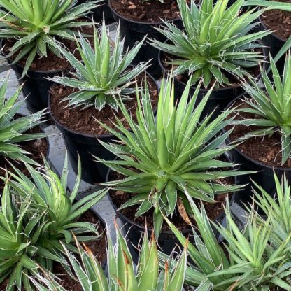 Agave filifera growing in 2 litre pots at Big Plant Nursery