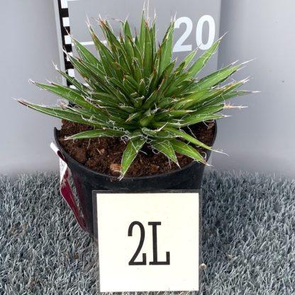 Agave flifera 2 litre plant for sale at Big Plant Nursery