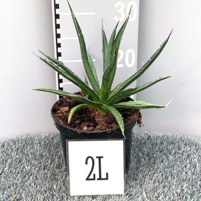 Agave lechuguilla 2 litre plant at Big Plant Nursery