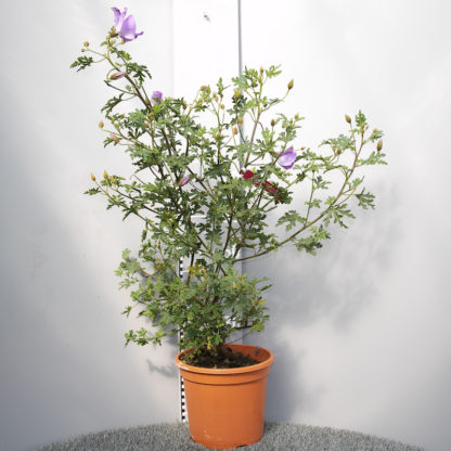 Alyogne huegelii 7 litre plant