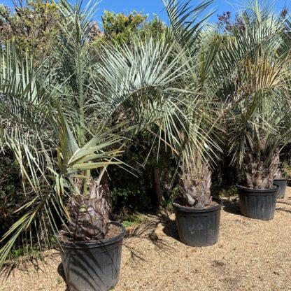 Butia odorata 130 litre plants
