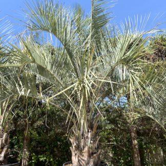 Butia odorata mature specimen