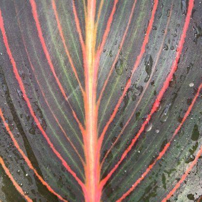 Canna 'Durban' leaf close-up at Big Plant Nursery