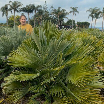 Chamaerops humilis 'Compacta' mature plants