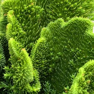 Cryptomeria japonica 'Cristata' close up of plant at Big Plant Nursery