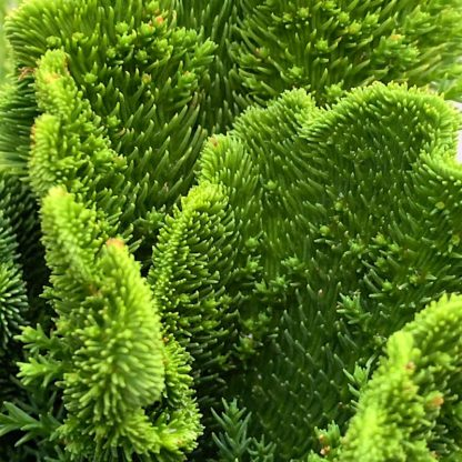 Cryptomeria japonica 'Cristata' close up of plant at Big Plant Nursery