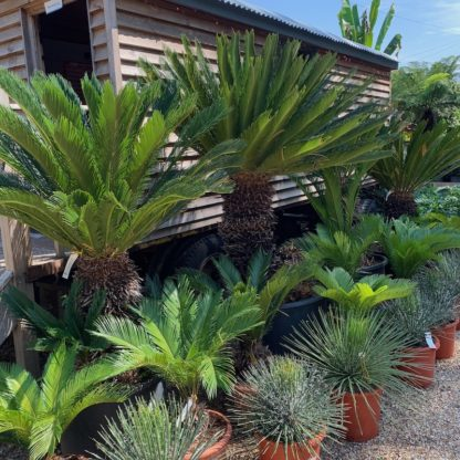 Cycas revoluta at Big Plant Nursery