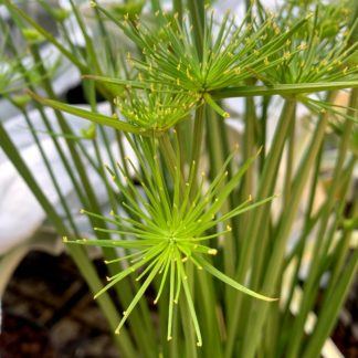 Cyperus haspan close up of leaves at Big Plant Nursery