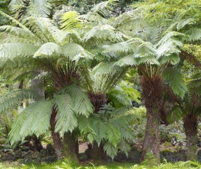 Dicksonia antartica mature plants