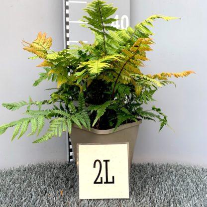 Dryopteris lepidopoda 2 litre plant at Big Plant Nursery