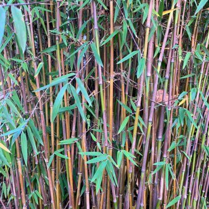Fargesia Juizhaigou 1 close up of stem colour on a mature plant at Big Plant Nursery