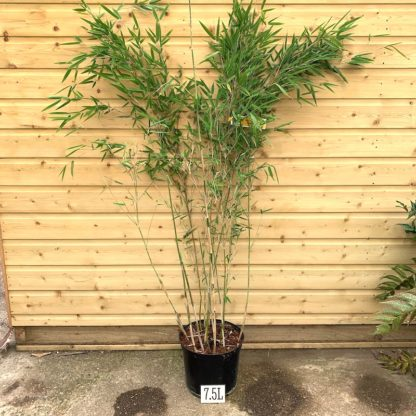 argesia 'Obelisk' 7.5 litre plant