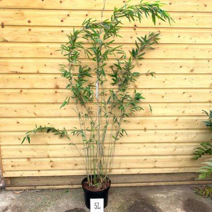 Fargesia 'Pillar' 5 litre plant