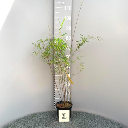 Fargesia juizhaigu 2 litre plant