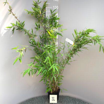 Fargesia nitida 'Winter Joy' 3 litre plant