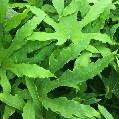 Fatsia polycarpa 'Green Fingers' leaf closeup
