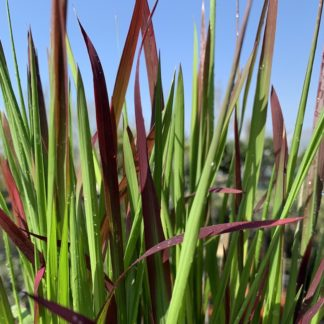 Imperata cylindrica 'Red Baron' close-up of leaves