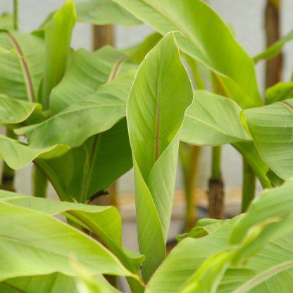 Japanese banana Musa basjoo at Big Plant Nursery