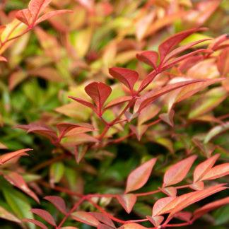 Nandina japonica 'Gulfstream' leaf colour