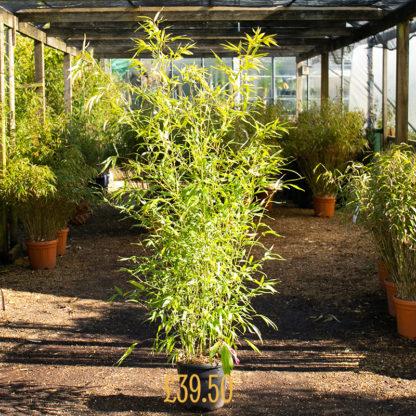 Phyllostachys aurea £39.50 pt grown plant