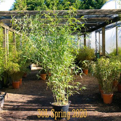 Phyllostachys aurea 30L plant