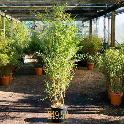 Phyllostachys aureosulcata 'Aureocaulis' £49.50 plant