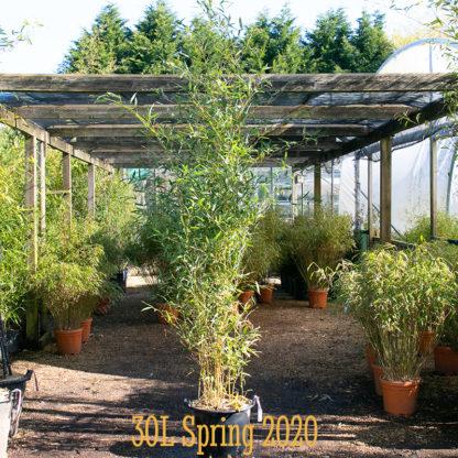 Phyllostachys aureosulcata 'Spectabilis' 30 litre plant