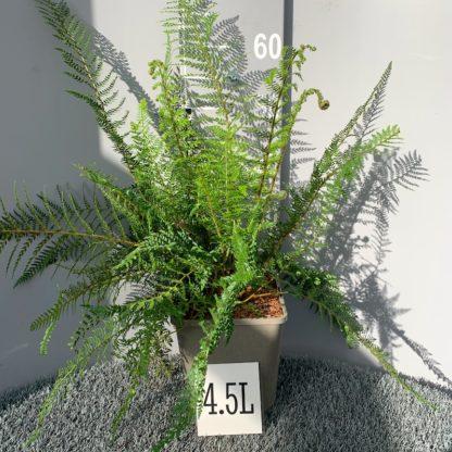 Polystichum setiferum 'Proliferum' 4.5 litre plant at Big Plant Nursery