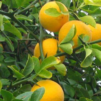 Poncirus trifoliata oranges