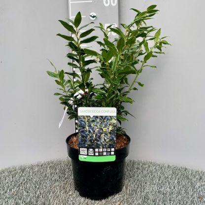 Sarcococca confusa 3 litre plant