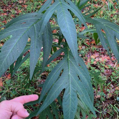 Solanum laciniatum leaf close up detail