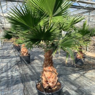 Washingtonia robusta 65 litre large plants grown at Big Plant Nursery