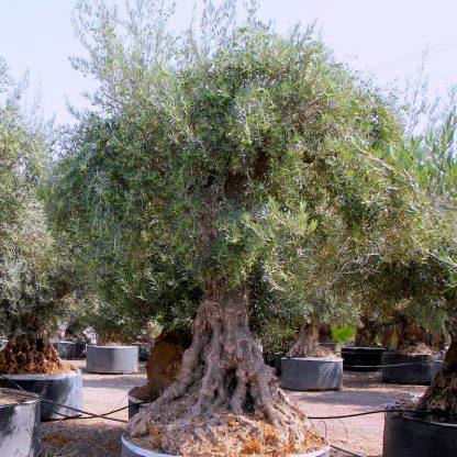 Ancient Olive Tree at Big Plant Nursery