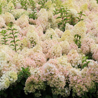 Hydrangea 'Pinky Winky' flowers