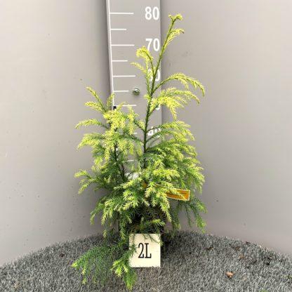 Crytomeria japonica 'Sekkan Sugi' 2 litre plant at Big Plant Nursery