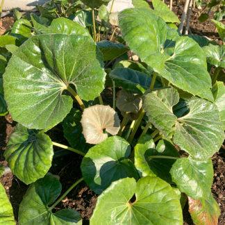 Farfugium japonicum 'Giganteum'