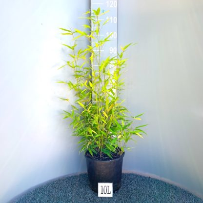 Phyllostachys nigra 10 litre plant at Big Plant Nursery