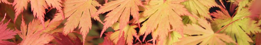 Acer palmatum - Growing Guide