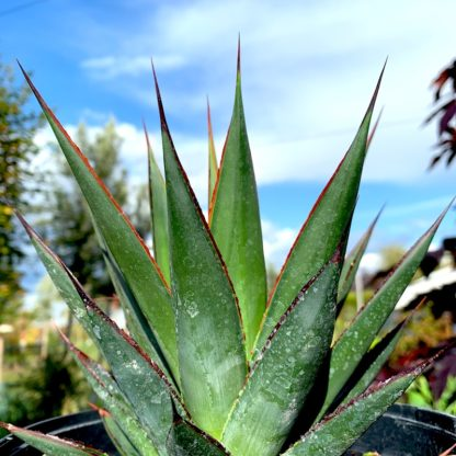 Agave 'Blue Glow' at Big Plant Nursery