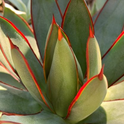 Agave 'Burnt Burgandy' close up of leaves and spines showing red and blue grey colour