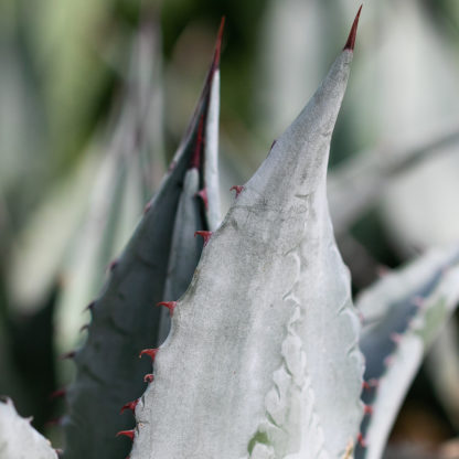 Agave chrysantha leaf and spine close up