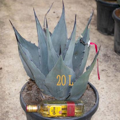 Agave havardiana 20 litre plant