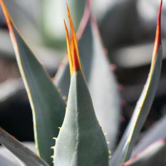 Agave parryi var. neomexicana leaf close up