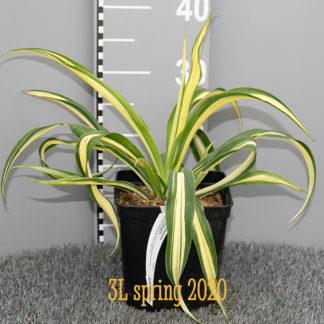 Beschorneria 'Flamingo Glow 3 litre plant