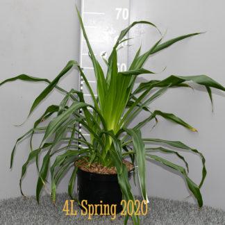 Beschorneria albiflora 4 litre plant