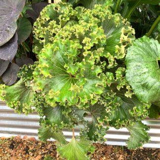 Farfugium japonicum 'Crispatum' mature plant in summer at Big Plant Nursery