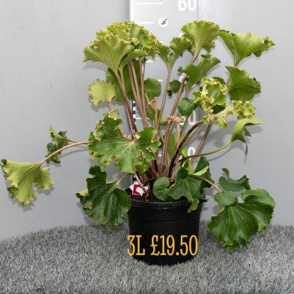 Farfugium japonicum 'Crispatum' 3 litre plant
